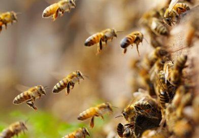 Caldo,  invasione di sciami di api e cimici a Bologna, Modena e Ferrara